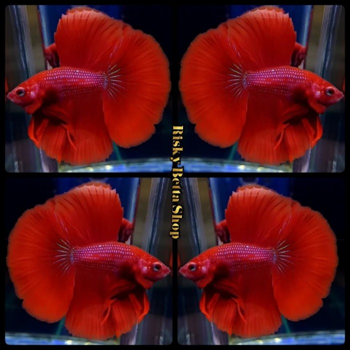 Jual Ikan Cupang Halfmoon Rosetaile Super Red Kab Bandung Riskybettashop Tokopedia