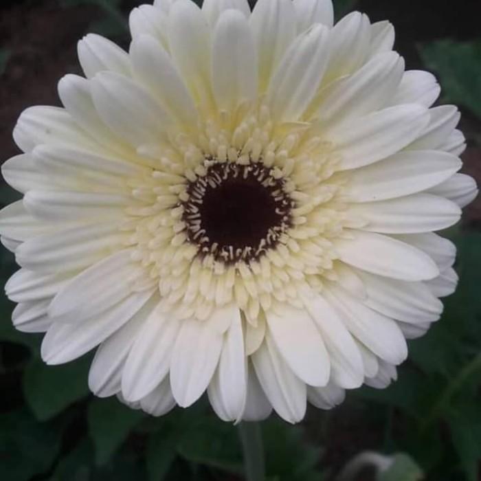 Jual Tanaman Hias Gerbera Putih Kab Bandung Barat Bunga Mawar Potong Tokopedia