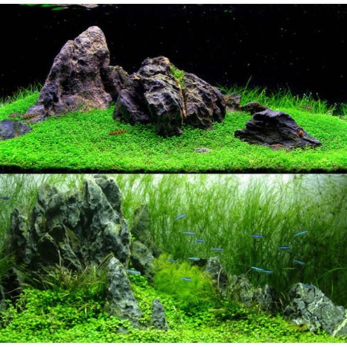 Jual Bibit Tanaman Rumput Laut Untuk Dekorasi Akuarium Jakarta Barat Kingjour Tokopedia
