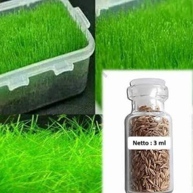 Jual Hair Grass Bibit Tanaman Air Mini Hairgrass Seed Aquascape Aquarium Jakarta Barat Yunnirno Tokopedia