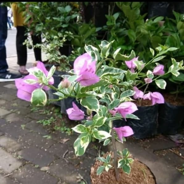 Jual New Tanaman Hias Bugenvil Bunga Ungu Kab Bogor Prabstore Tokopedia