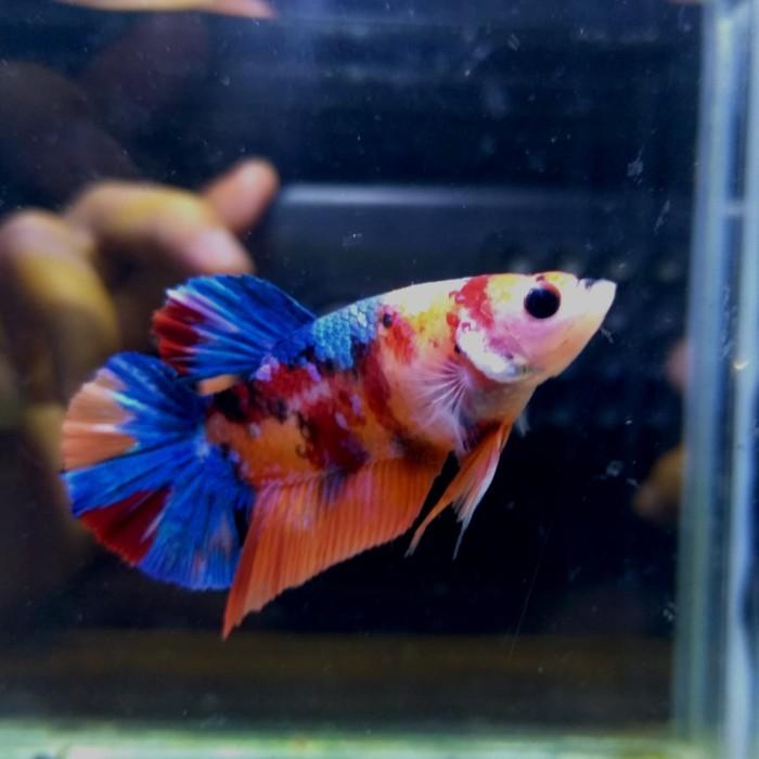 Jual Cupang Nemo Galaxy Multi Size M Kota Bogor Predator Fish Reptile Tokopedia