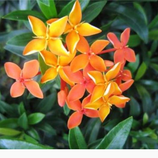 Jual Tanaman Hias Bunga Soka Orange Tanaman Hias Asoka Kab Bogor Andreas Flora Tokopedia