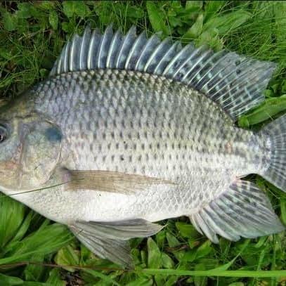 Jual Ikan Mujair Mujaer Per 500gram Kota Tangerang Selatan Kerenbeken Store Tokopedia