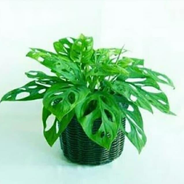 Jual tanaman hias janda bolong - Kota Tangerang Selatan