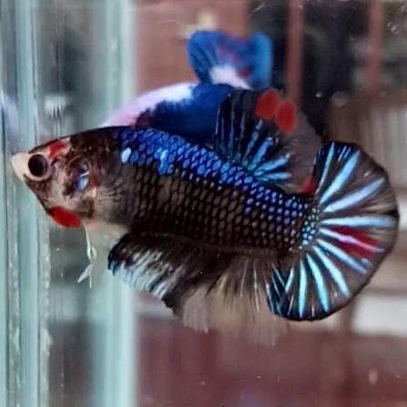 Jual Cupang Male Koi Fancy Solid Avatar Emerald Nemo Grade 50k Contoh Kota Depok Nciscupangdepok Tokopedia