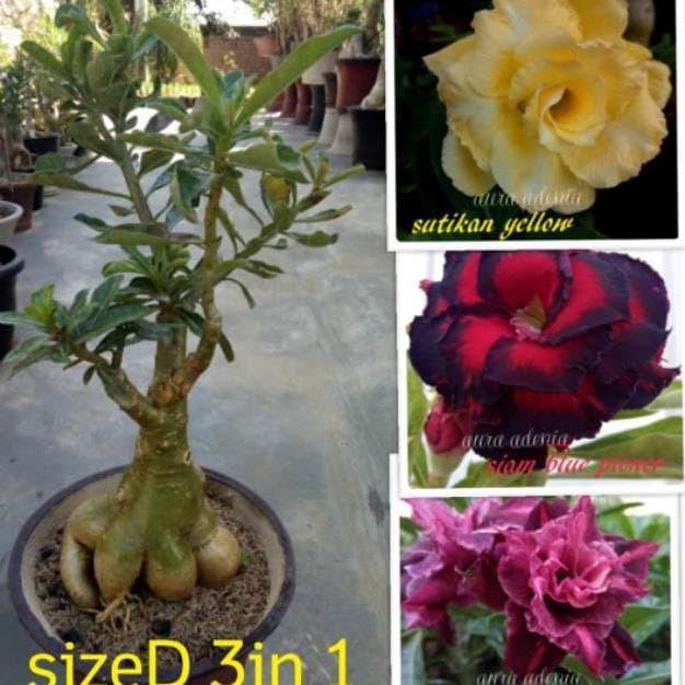 Jual Bibit Bunga Kamboja Jepang Adenium Triple 1 Batang 3 Warna Terbaru Jakarta Selatan Aflah Najib Tokopedia