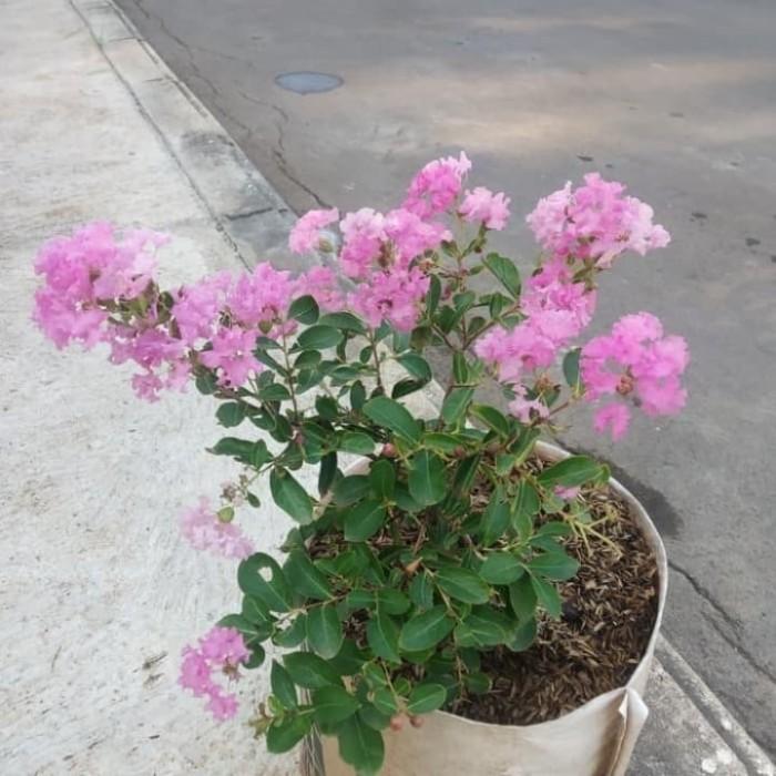 Jual Tanaman Hias Bunga Sakura Lokal Indonesia Jakarta Utara Sanggar Bunga Alam Sari Tokopedia