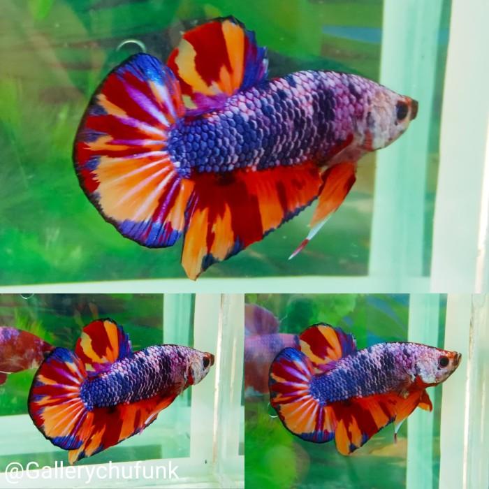 Jual Ikan Cupang Plakat Nemo Leopard Kab Tangerang Gallerychufunk Tokopedia