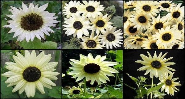 Jual Termurah Benih Bunga Matahari Putih Atau Ice Vanilla Sunflower Jakarta Pusat Aning Mart Tokopedia