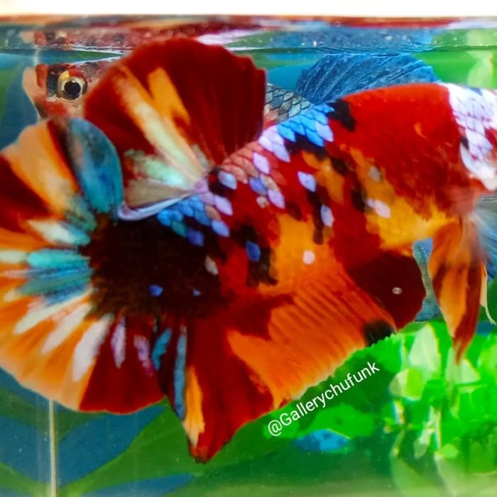 Jual Ikan Cupang Plakat Nemo Galaxy Kab Tangerang Gallerychufunk Tokopedia