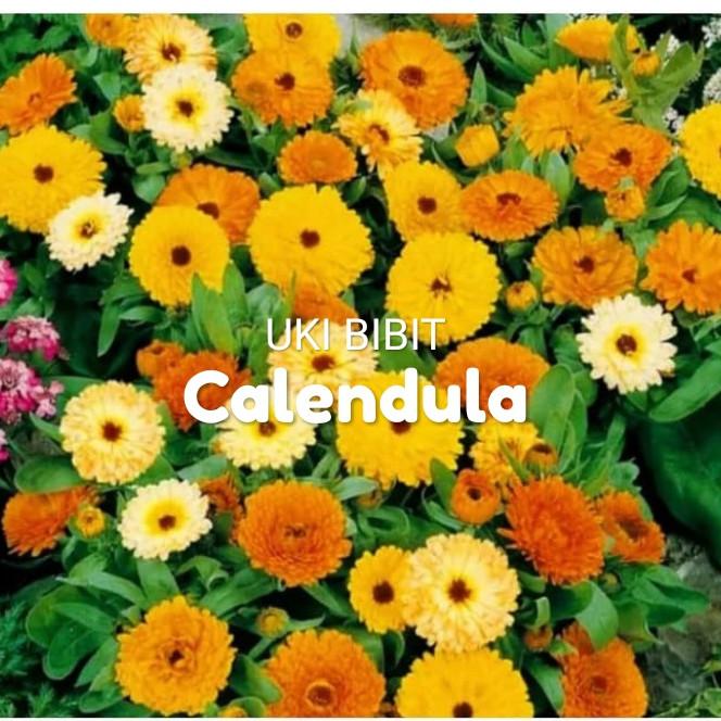 Jual 10 Butir Benih Bunga Calendula Kab Indramayu Distributor Benih Biji Tokopedia