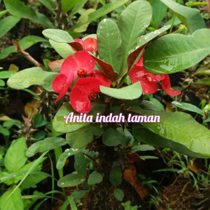 Jual Tanaman Eforbia Bunga Merah Kab Bogor Anita Indah Taman Tokopedia