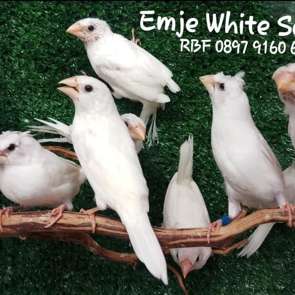 Jual Burung Finch Pipit Emje Atau Emprit Jepang Albino Putih Polos Jakarta Utara Satrio Rbf Tokopedia