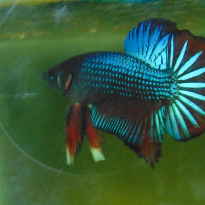 Jual Jual Ikan Cupang Avatar Male Murah Kota Cimahi Betta Carbon Tokopedia