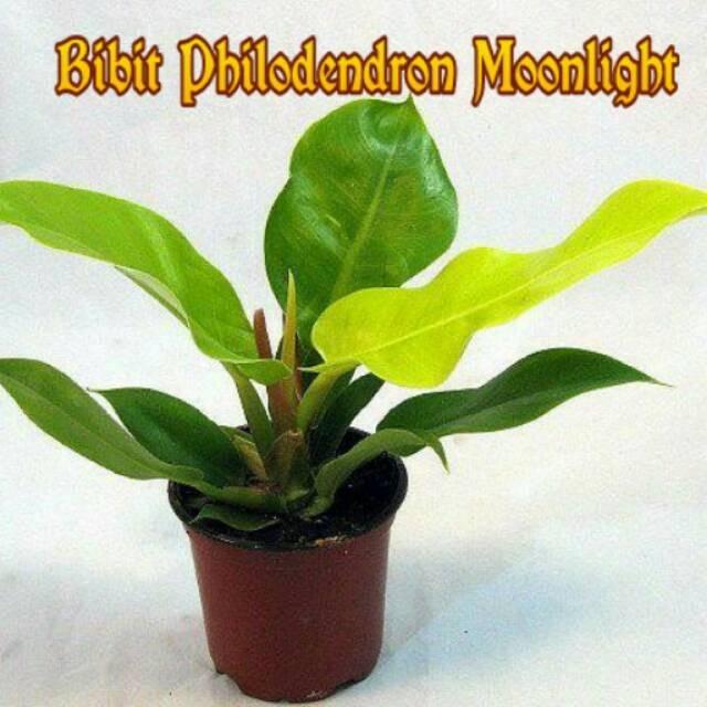 Jual Philodendron Moonlight Tanaman Hias Daun Lebar Ao269 Kota Blitar Blitarshoping Tokopedia