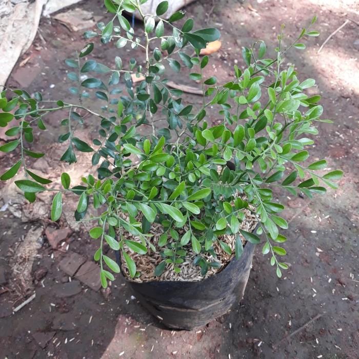 Jual Tanaman Hias Kemuning Micro Ukuran 15cm 20cm Kab Bogor Plants And Pots Tokopedia