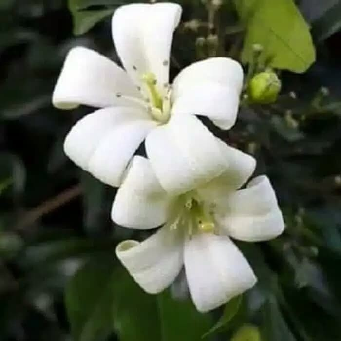 Jual Tanaman Hias Kemuning Pohon Bunga Hias Kab Bogor Azam Tanaman Hias Tokopedia