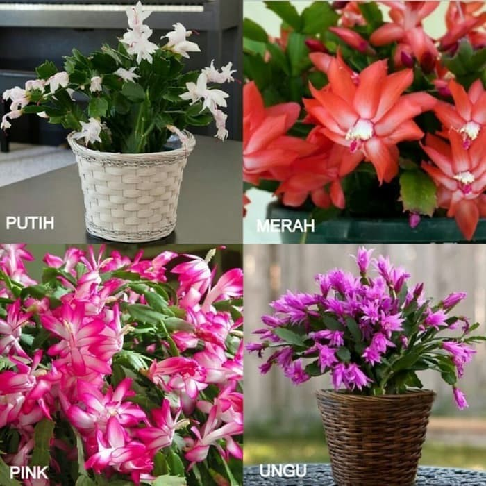 Foto Produk Jual paket 4 tanaman wijaya kusuma kepiting merah - putih - Pink - dari probit store