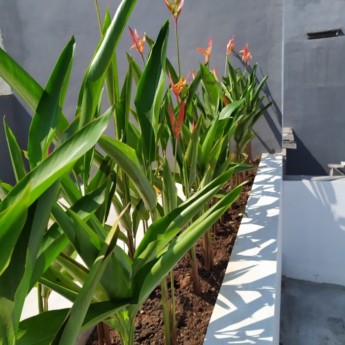 Jual Tanaman Pisang Heliconia Pisang Pisangan Pohon Pisang Hias Kab Bogor Grass Taman Tokopedia