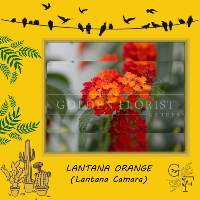 Jual Tanaman Bunga Lantana Orange Kota Batu Golden Florist 28 Tokopedia