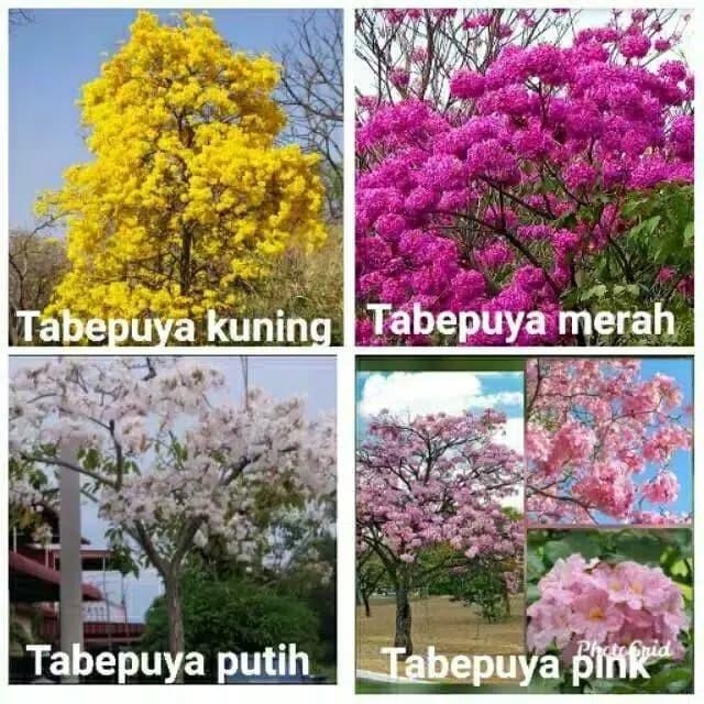 Jual Paket 4 Tanaman Hias Tebebuya Tanaman Bunga Sakura Indonesia Kab Bogor Lestari Tanaman Hias Tokopedia