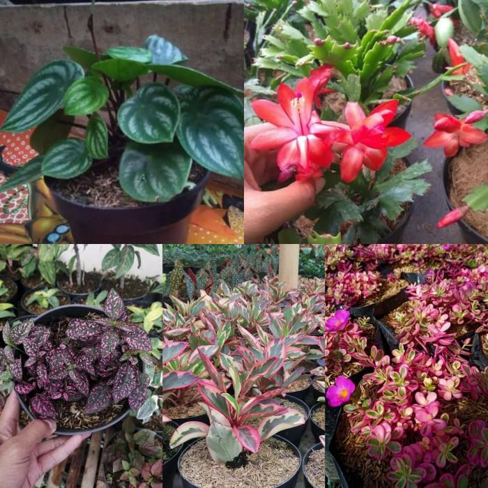 Jual Paket 5 Bunga Cantik Toko Tanaman Hias Murah Bandung Kab Bandung Barat Cukini Tokopedia