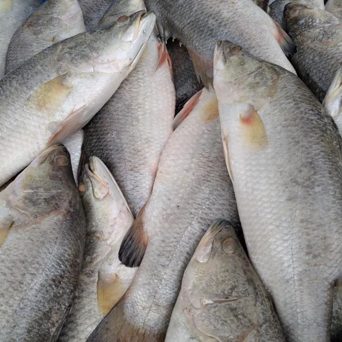 Jual Ikan Kakap Putih Kota Medan David Maharga Tokopedia