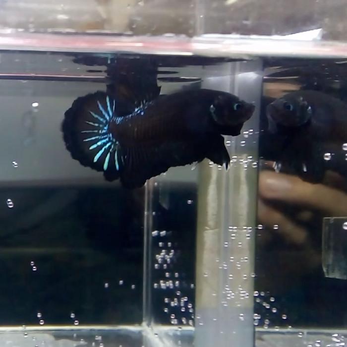 Jual Ikan Cupang Avatar Cupang Avatar Avatar Bbl Ikan Cupang Jakarta Timur Iwan Celluler Tokopedia