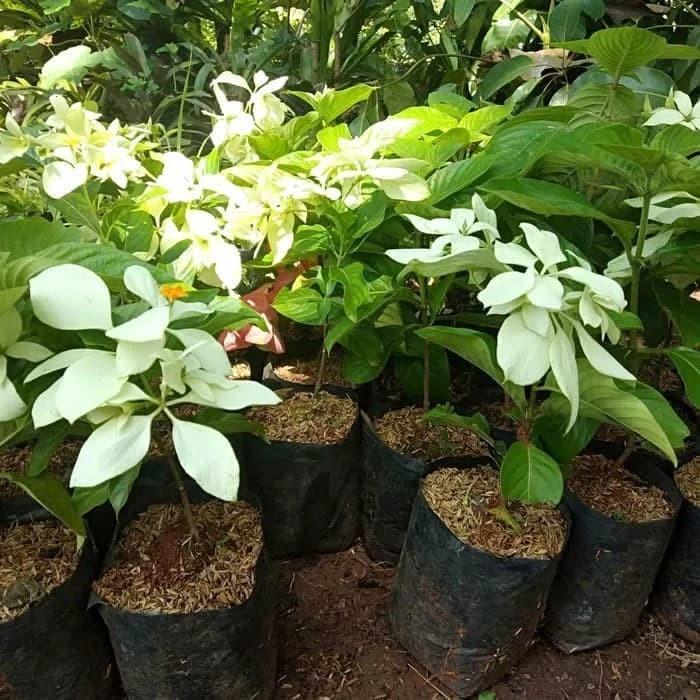 Jual Bibit Tanaman Hias Nusa Indah Bunga Putih Pohon Bunga Nusa Indah Kab Bogor Geo Garden Tokopedia