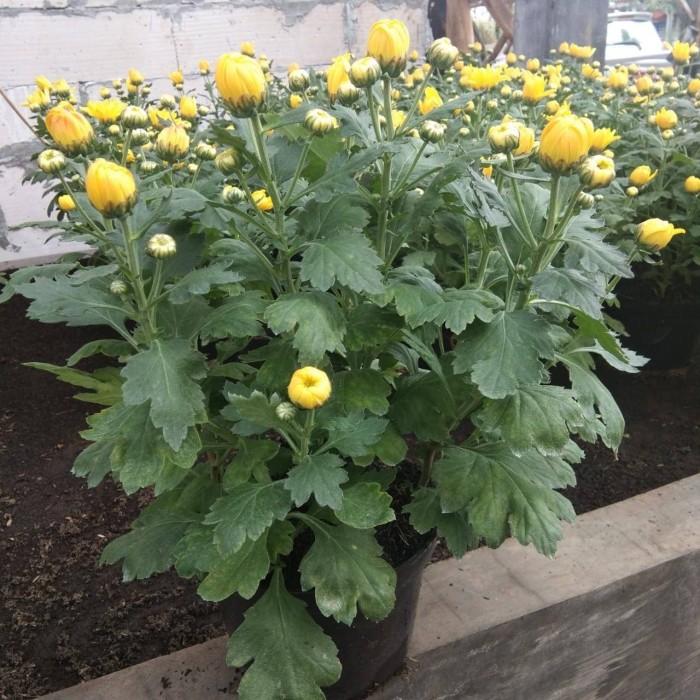 Jual Bunga Aster Krisan Kuning Kab Bandung Barat Ahmad Plant Florist Tokopedia