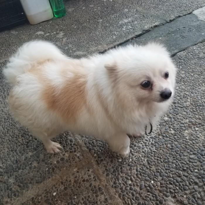 Jual Sold Jual Anjing Minipom Pom Pomeranian Mini Pom Murah Kota Tangerang Utaserbaserbi Tokopedia