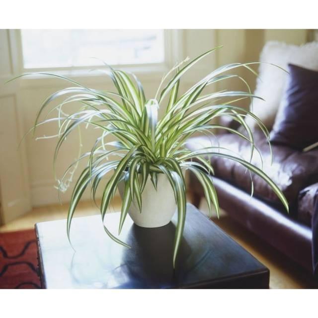 Jual Bunga Lili Paris Spider Plant Bisa Cod Kab Pemalang Storejayaindah Tokopedia