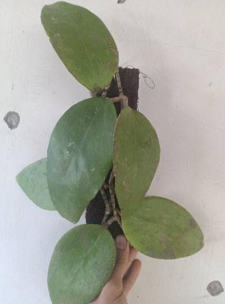 Foto Produk Tanaman Hias Hoya Putih Siap Bunga dari Tambahkan Aja
