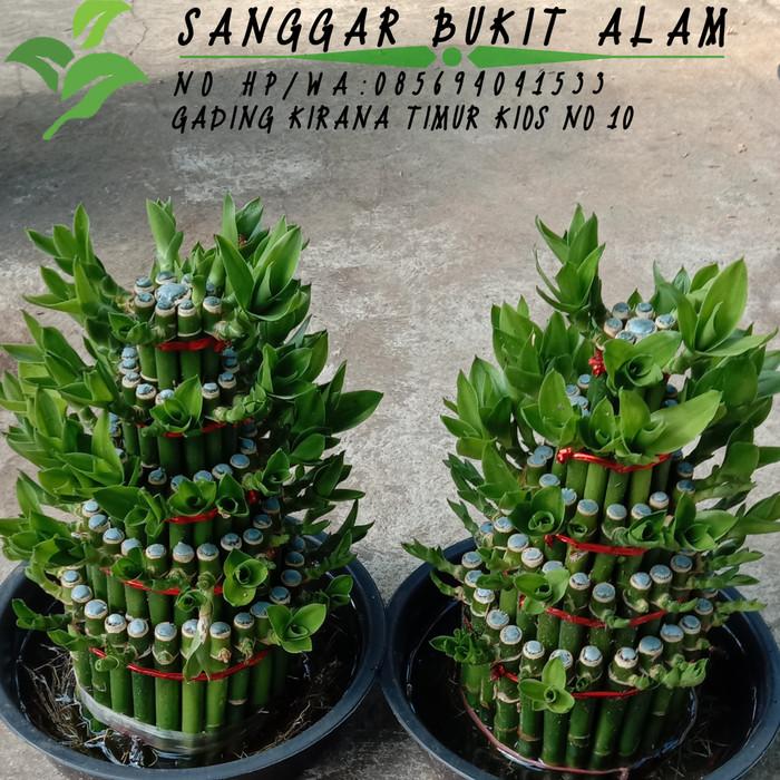 Jual Tanaman Hias Bunga Pohon Bambu Hoki 20 Cm Pot Jakarta Utara Sanggar Bukit Alam Tokopedia