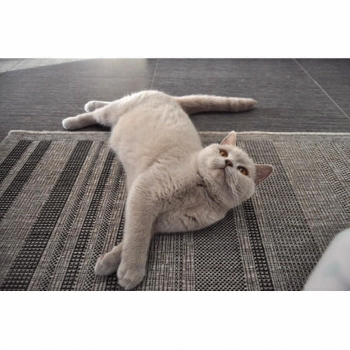 Jual Kucing British Short Hair Double Ped Warna Lilac Kota Yogyakarta Sultan Cat And House Tokopedia