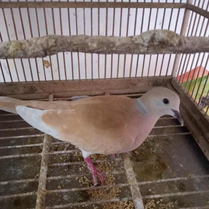 Jual Burung Puter Kota Tangerang Selatan Makyos Tokopedia