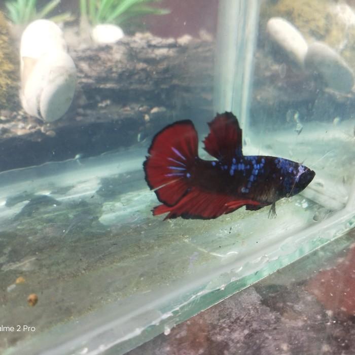 Jual Ikan Cupang Avatar Gordon Kota Bekasi Vinkairene Tokopedia