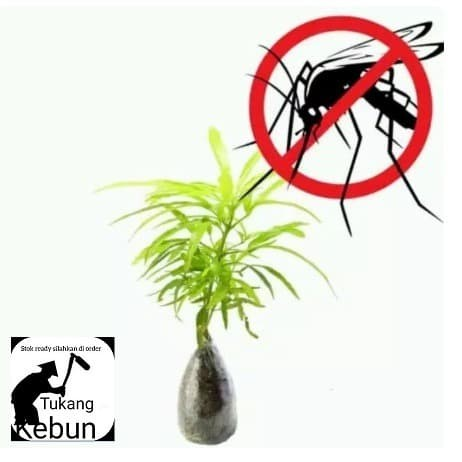 Jual Tanaman Zodia Tanaman Pengusir Nyamuk Kab Bogor Tukang Kebun88 Tokopedia