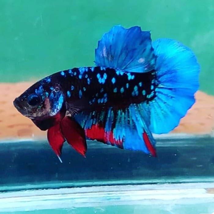 Jual Ikan Cupang Avatar Kota Tangerang Selatan Blackcoffeebetta Tokopedia