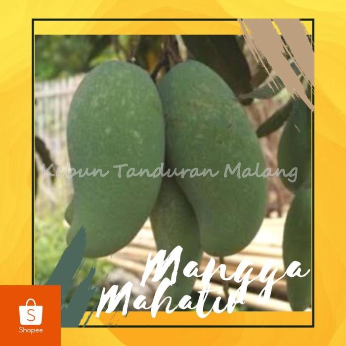Foto Produk Bibit Buah Mangga Mahatir Mangga Jumbo Pohon Mangga Mahatir Asli dari gamis laila
