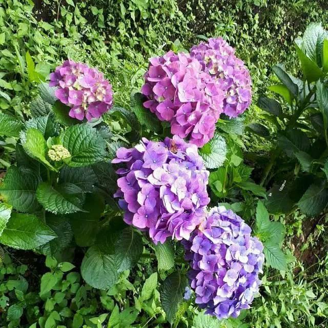 Jual Tanaman Hias Bunga Hortensia Hydrangea Panca Warna Kota Surabaya Adriani Jaya Tokopedia