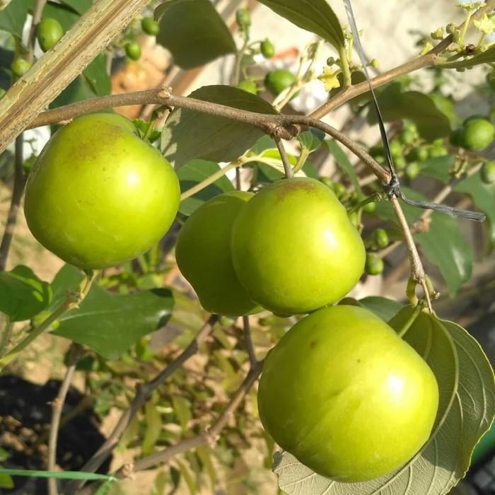 Jual Bibit Tanaman Apel Putsa Berbuah Pohon Apel Putsa Apel India Kota Bogor Tanaman Unggul Id Tokopedia