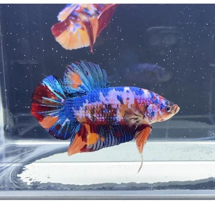 Jual Ikan Cupang Hias Cupang Hias Giant Multicolor Giant Betta Fish Premium Jakarta Barat Spectrum Betta Fish Tokopedia