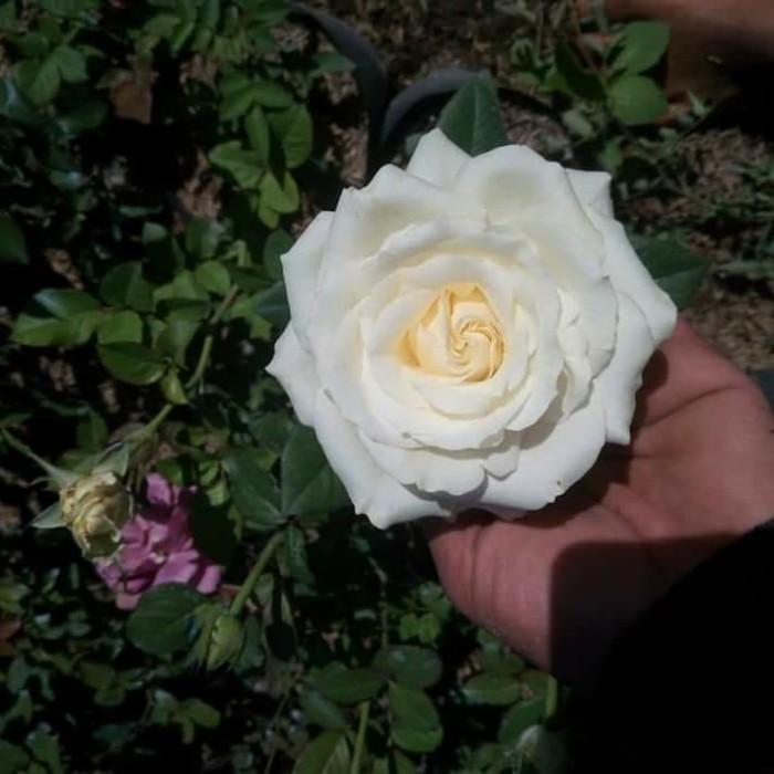 Jual Tanaman Hias Bunga Mawar Putih Kota Batu Mauladan Garden Tokopedia