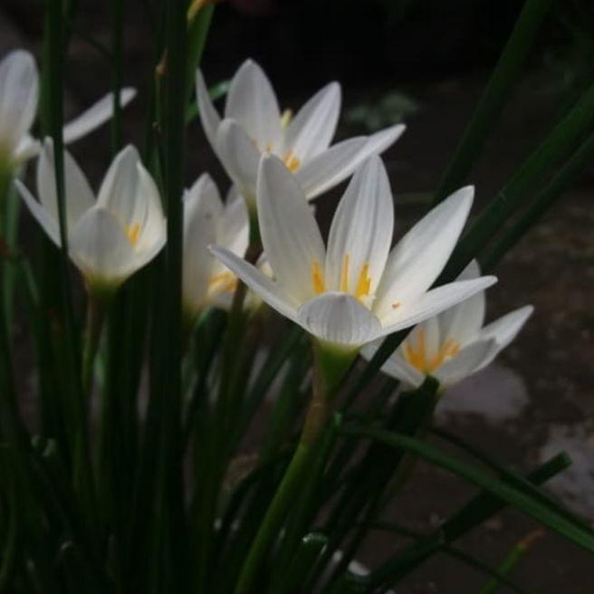 Jual Tanaman Hias Rain Lily Bunga Lily Bunga Bintang Kab Bogor Taman Indah Tokopedia