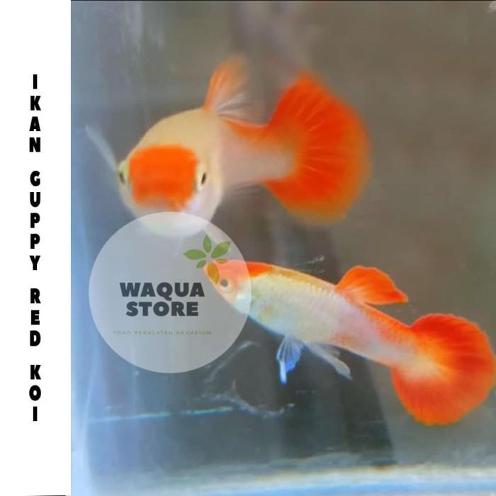 Jual Ikan Guppy red koi sepasang - Kota Salatiga - waqua ...