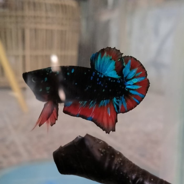 Jual Ikan Cupang Avatar Jakarta Timur Betta69 Tokopedia