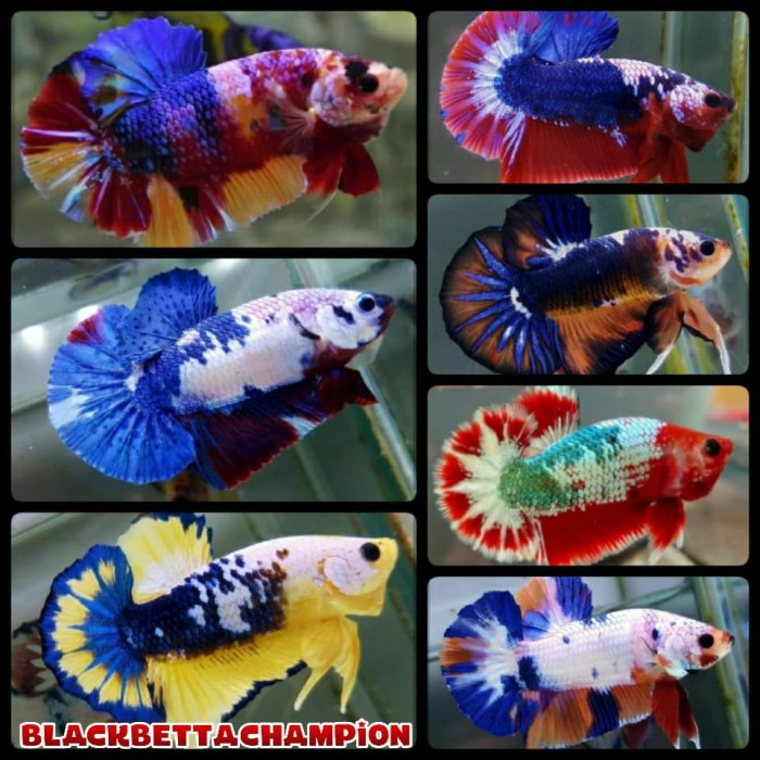 Jual Ikan Cupang Fancy Candy Marble Multicolor Full Block Kab Bandung Erzabettashop Tokopedia