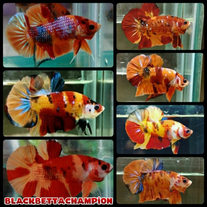 Jual Ikan Cupang Nemo Candy Emerald Multicolor Full Block Kab Bandung Erzabettashop Tokopedia